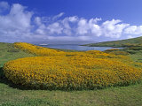 Gorse Bushes on Carcass Island and the Expedition Ship Endeavor Photographic Print by Gordon Wiltsie