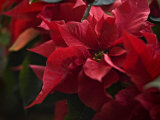 Close Up of a Poinsettia Plant Photographic Print by Hannele Lahti