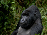 Mountain Gorilla Seated in Thick Foliage Photographic Print by Beverly Joubert