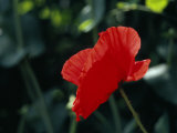 Delicate Red Poppy Flower Photographic Print by Ed George