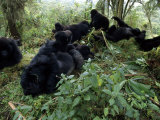 Group of Mountain Gorillas Socialize at the Centre Photographic Print by Michael Nichols