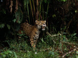 Jaguar Named Boo Roam Through a Thicket at a Zoo in Belize Photographic Print by Steve Winter