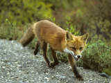 Red Fox in Alaska Photographic Print by Michael S. Quinton