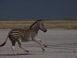 Burchell's Zebra Running Photographic Print by Beverly Joubert
