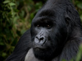 Close Up Portrait of a Mountain Gorilla Photographic Print by Beverly Joubert