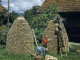 Men and Women Work Together to Stack Firewood in Cone-Shaped Piles Photographic Print by Willard Culver