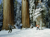 Tourists Throw Snowballs Near Massive Trunks of Mature Sequoia Trees Photographic Print by Andrew Brown