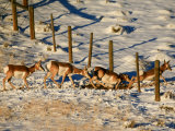 These Pronghorn are Migrating to the High Desert of Wyoming Photographic Print by Drew Rush