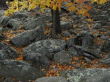 Leaves from a Tree Growing Among Rocks in the Fall Photographic Print by Raul Touzon