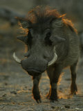 Close-up of a Warthog Photographic Print by Beverly Joubert