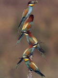 Beaks Replete with Prey, a Band of Bee Eaters Perch on a Tree Branch Photographic Print by Jozsef Szentpeteri