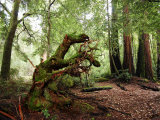 Giant Redwood Tree Root Ball, Looking Like a Leaping Horse Photographic Print by Raymond Gehman