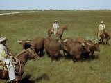 Rancher and Cowboys Inspect Grass-Fattened Steers Photographic Print by Justin Locke