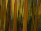 Close Up and Soft Focus of Aspen Trees in the Fall Photographic Print by Raul Touzon