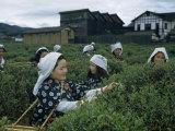 Women Harvest Tea Leaves Near a Processing Plant Fotografisk trykk av Joseph Baylor Roberts
