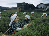 Women Harvest Tea Leaves Near a Processing Plant Photographic Print by Joseph Baylor Roberts