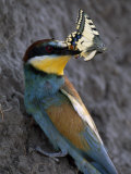 Adult Female Bee Eater Holding a Swallowtail Butterfly in its Beak Photographic Print by Jozsef Szentpeteri