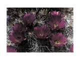Close-up of Brilliant Strawberry Cactus Blossoms Photographic Print by Jacob Gayer