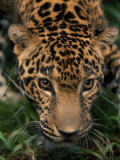 Close-up Portrait of a Jaguar's Heada Photographic Print by Steve Winter