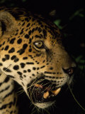 Close Up of a Jaguar's Face Photographic Print by Steve Winter