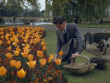 Gardener Works on a Bed of Wallflowers and Tulips Photographic Print by B. Anthony Stewart