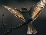 Adult Bee Eater Bird, Holding a Honey Bee, Landing on a Branch Photographic Print by Jozsef Szentpeteri