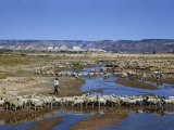 Shepherd Walks Amid Large Flock of Sheep Standing in and around River Fotografisk tryk af Justin Locke