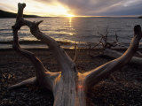 Driftwood Along the Shoreline of Yellowstone Lake Fotodruck von Annie Griffiths Belt