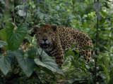Jaguar Snarls at the Camera Photographic Print by Steve Winter