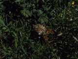Jaguar Hides in the Bushes Photographic Print by Steve Winter