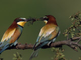 Male Bee Eater Sharing a Dragonfly with His Mate Photographic Print by Jozsef Szentpeteri