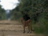 Puma Stands at the Edge of a Road Photographic Print by Steve Winter