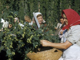Women Talk While Picking Hops Photographic Print by Volkmar K. Wentzel