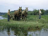 Farmers Harvest Marsh Grass with Old-Fashioned Cradle Scythe Photographic Print by Walter Meayers Edwards