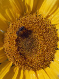 Close Up of a Bee Pollinating a Sunflower in the French Countryside Photographic Print by Jim Sugar
