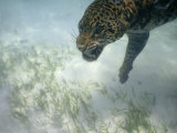 Jaguar Takes a Swim in the Clear Water Off the Shore of Cancun Photographic Print by Steve Winter