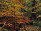 Scenic Woodland View of Beech Trees in Autum Hues and Hemlocks Photographic Print by Raymond Gehman