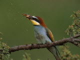 Male Bee Eater Bird Hitting a Bee to Remove the Stinger Photographic Print by Jozsef Szentpeteri