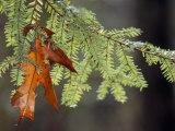 Detail of Oak Leaf Caught in Hemlock Branch in Paint Creek Area Photographic Print by Raymond Gehman