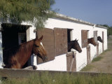 Four Brood Mares Stand Looking Out Half-Open Doors of their Stalls Photographic Print by Howell Walker
