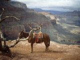 Saddled Mule and Scenic View of the Grand Canyon Photographic Print by David Edwards