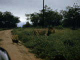 Lion Walks into the Veld as Another Lies on a Dirt Road Photographic Print by Dr. Gilbert H. Grosvenor