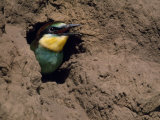Bee Eater Offspring Calls for Food at the Entrance of Nesting Tunnel Photographic Print by Jozsef Szentpeteri