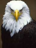Profile Portrait of a Bald Eagle Photographic Print by Michael Melford