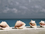 Conch Shells Line a Wall Near the Sea Photographic Print by Michael Melford