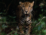 Jaguar Named Boo Approaches the Camera at the Belize Zoo Photographic Print by Steve Winter