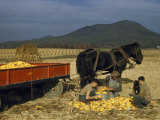 Farmer and Sons Husk Corn in Field, Harnessed Horses Stand by Cart Photographic Print by Justin Locke