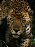 Jaguar (Panthera Onca) Inches Toward the Camera Photographic Print by Steve Winter