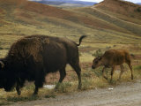 One Full-Grown Bison and a Calf Walk Along Edge of a Dirt Road Photographic Print by Ralph Gray