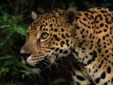 Close Up of a Jaguar's Head and Shoulders Photographic Print by Steve Winter